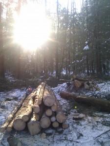 Solen gläntar i gallringsskogen