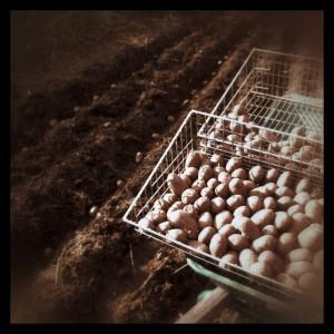 Potatissättning på Broaker