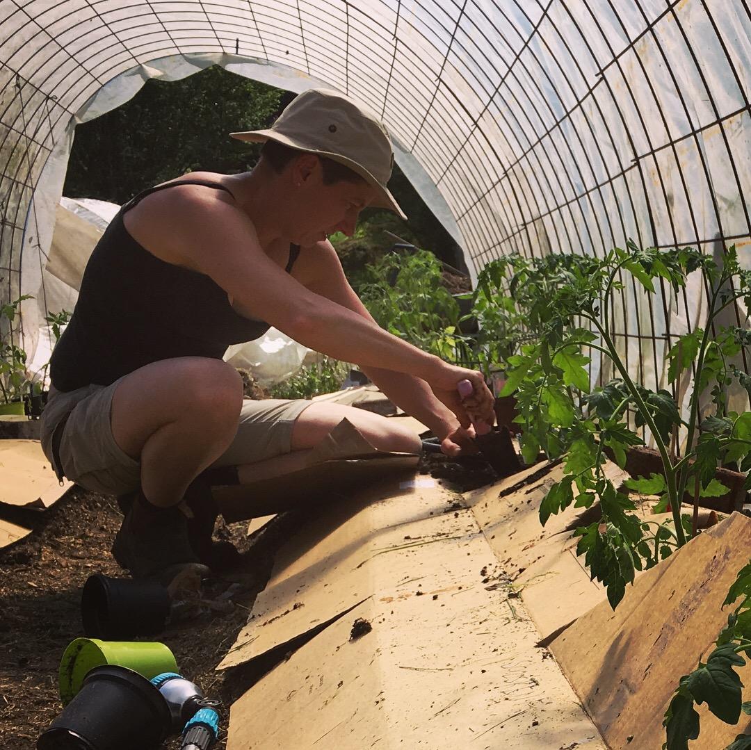 Ny taktik för årets tomattunnel