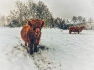 Solskensfarmarna - Highland cattle i vinterhage