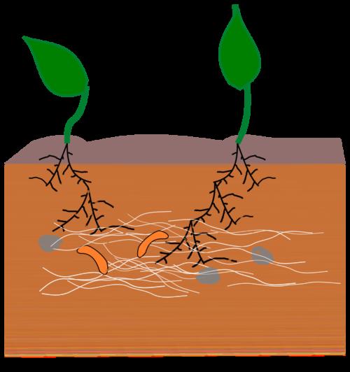 Mykorrhiza, maskar och bakterier samverkar under jorden
