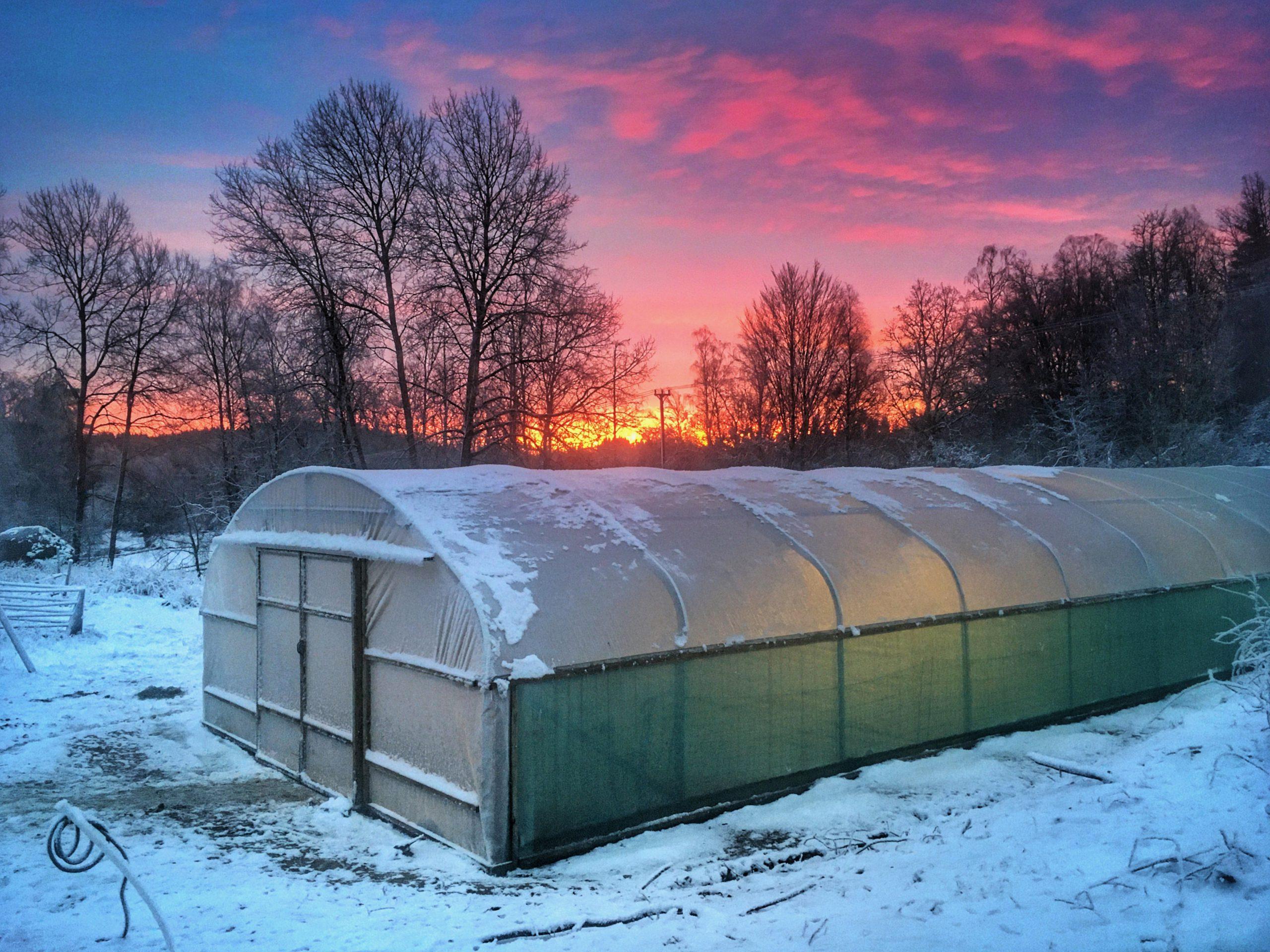 Polytunneln en vinterdag
