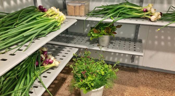 Walk-in kylrum underlättar grönsaksskörden