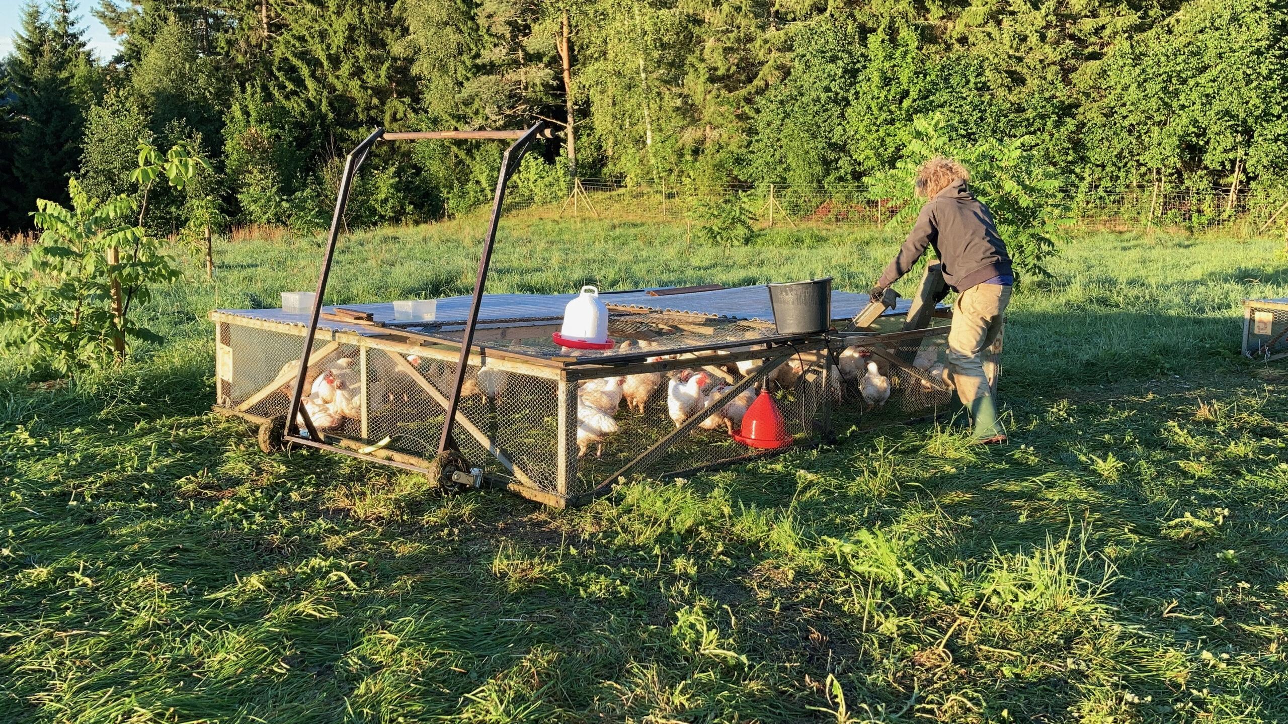 Salatin style broiler pen under morgonflytt på Ridgedale