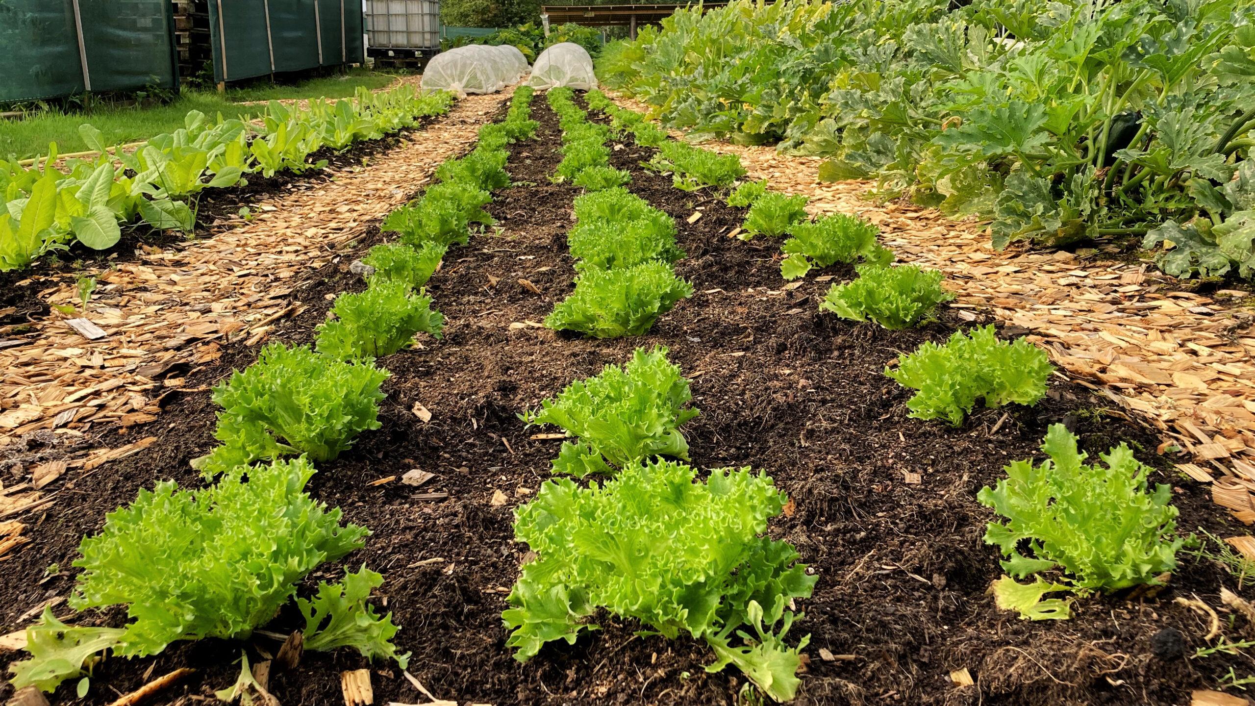 Standardiserad odlingsbädd på 75 cm med flis i gångarna på Ridgedale Farm